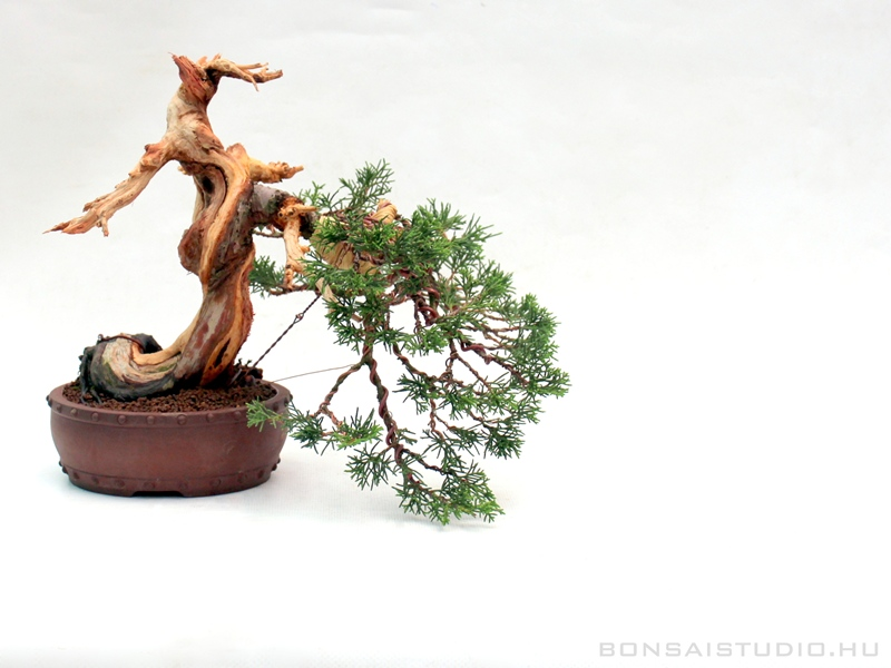 koji hiramatsu bonsai workshop in the marczika bonsai studio