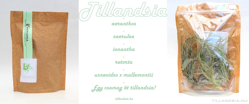 tillandsia epifita csomag airplant és lakás szoba konyha dekorációra