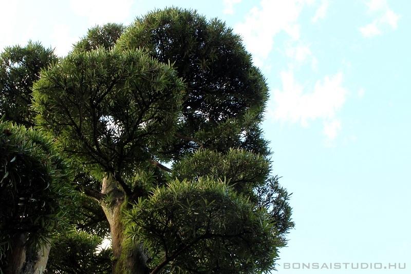 niwaki és bonsai alakfa japánkertekbe és teraszokra