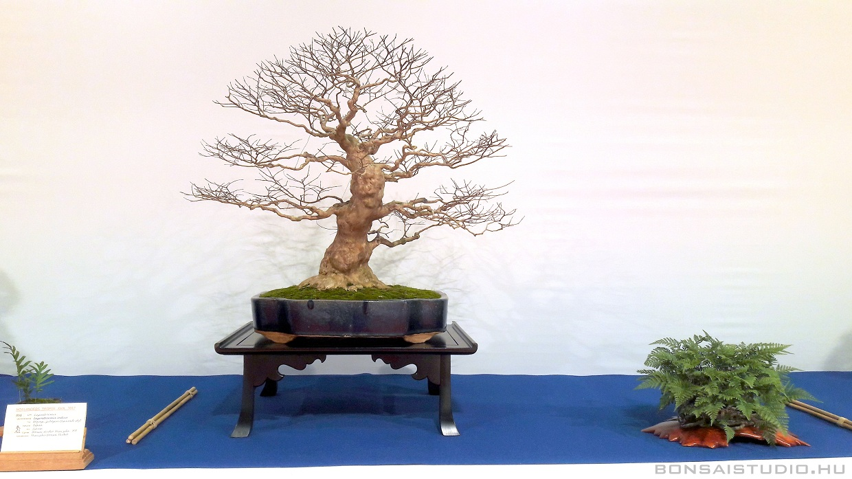 noelanders trophy and eba and esa convention bonsai exhibition suiseki marczika bonsai studio hungary